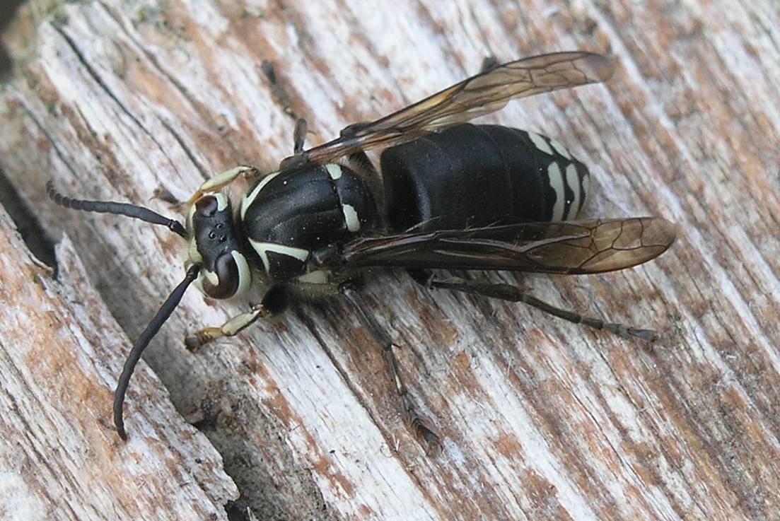 bald faced hornet pest control